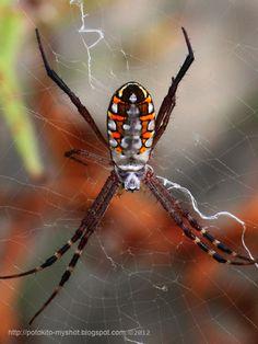 Photos in this post were taken in Bengkulu Sumatra Indonesia. This spider is from the family of Araneidae under genus of Argiope . Creepy, Scary, Texas Animals, Mundo Animal, Creatures, Bugs, Nature, Rare Animals, Naturaleza