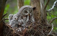 Great Grey Owl bringing prey to 4 chicks in its nest Photo: Igor Shilokhvost