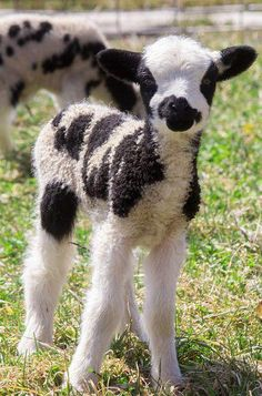 Piebald lamb - baby Jacob Sheep breed - Just How Cute Can This Be! Cute Creatures, Beautiful Creatures, Animals Beautiful, Majestic Animals, Cute Baby Animals, Animals And Pets, Wild Animals, Spring Animals, Barnyard Animals
