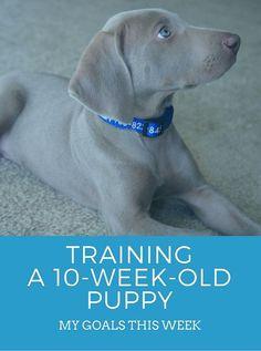 Training a 10 week old puppy
