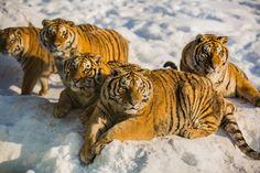 Northest Tiger 6