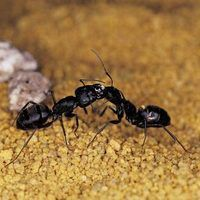 Black ants are more than a picnic nuisance. Worker ants leave the colony in search of food. A single one can enter your home, leaving behind a scent trail that hundreds of other workers can follow. Keeping your home free from food crumbs helps prevent ants, but if you have an infestation in or around your home already, killing them is a permanent...