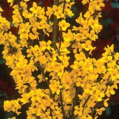 Forsythia: Zone 6, perennial, early to mid spring blooms, full or half sun, deer resistant, attracts hummingbirds and butterflies