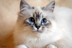 birman cat - Google Search