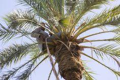 Date's crop - Tunisia by Arnaldo s. on 500px