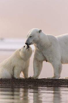 A female polar bear with one of her cubs. Beautiful Creatures, Animals Beautiful, Urso Bear, Animals And Pets, Cute Animals, Baby Polar Bears, Nature Sauvage, Bear Photos, Mother Nature