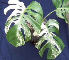 Full size picture of Variegated Split-leaf Philodendron 'Albo Variegata' (Monstera deliciosa) Monstera Deliciosa, Diy Garden Decor, Garden Art, Mini Terrarium, Terrariums, All About Plants, Variegated Plants, Garden Oasis, Gardens