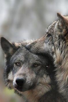 La liberta' di essere lupi.