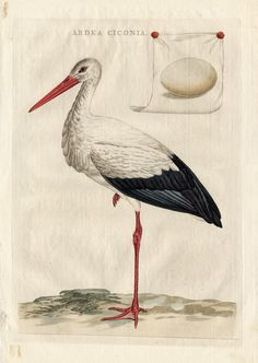 The Prints Collector :: The Stork from the famous work 'Nederlandsche Vogelen' by Sepp and Nozeman. Hand coloured engraving.