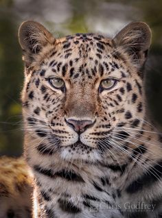 Beautiful Amur leopard Kaia is 11 years old today. She was born at Tallinn zoo in Estonia but has lived at Marwell Wildlife in. Jaguar Leopard, Leopard Animal, Animal Species, Endangered Species, Human Reference, Art Reference, Wildlife Photography, Animal Photography, List Of Animals