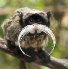 Kejsartamarin med mustasch