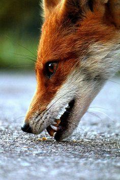 Red Fox by DanielJ85