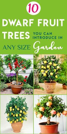10 Dwarf Fruit Trees That You Can Grow in Pots Easily 10 Dwarf Fruit Trees That You Can Grow in Pots Potted Fruit Trees, Fruit Tree Garden, Dwarf Fruit Trees, Growing Fruit Trees, Garden Trees, Growing Plants, Fruit Trees In Containers, Fruit Plants, Lemon Tree Potted