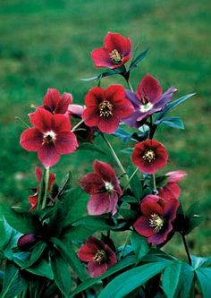 Helleborus X hybridus Red Lady, upright stems with large flowers.  80% true from seed.