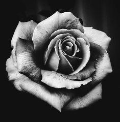 Rose Drawing Tattoo, Tattoo Drawings, Rose Drawings, Drawing Drawing, Pencil Drawings, Gif Kunst, Rosen Tattoo Mann, Rose Flower Tattoos, Skull Rose Tattoos