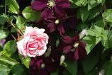 Viking Queen Climbing Rose paired with Etoile Violette Clematis