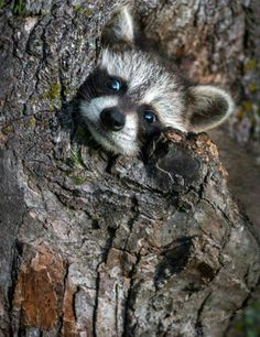 A Little Stuck? - Baby Raccoon peeps out of tree Baby Raccoon, Cute Raccoon, Racoon, Cute Baby Animals, Animals And Pets, Funny Animals, Wild Animals, Woodland Creatures, Woodland Animals