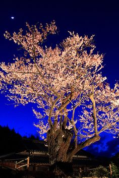 Cherry Blossom Night, Japan