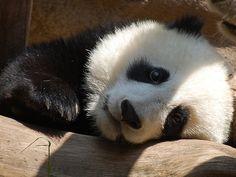 Baby panda Zhen Zhen, born at the San Diego Zoo in 2007 - Imgur