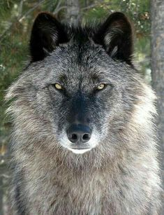 🐺If you Love Wolves, You Must Check The Link In Our Bio 🔥 Exclusive Wolf Related Products on Sale for a Limited Time Only! Tag a Wolf Lover! 📷:Please DM . No copyright infringement intended. All credit to the creators. Wolf Photos, Wolf Pictures, Animal Pictures, Wolf Love, Beautiful Creatures, Animals Beautiful, Cute Animals, Baby Animals, Wolf Spirit