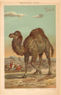1897 Dromedary or Arabian Camel  Camelus by CabinetOfTreasures