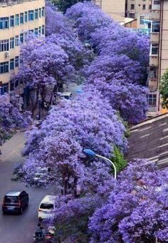 71 best purple flowering trees images on pinterest beautiful jacarand mimoso jacarand mimosaefolia purple flowering tree good for sidewalks mightylinksfo