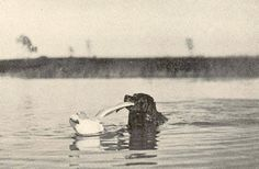 Newfoundland retrieving a gull in Albany NY, 1903. Copywrights: Freshwater and Marine Image Bank