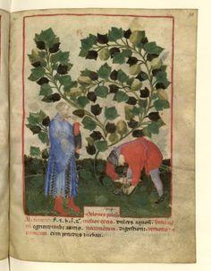 Nouvelle acquisition latine 1673, fol. 38, Récolte des melons de Palestine. Tacuinum sanitatis, Milano or Pavie (Italy), 1390-1400.