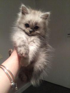 My chinchilla as a kitten stealing hearts.