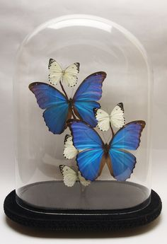 Butterflies in glass domes.  Butterfly domes  Glass domes filled with butterflies.  I have lots of butterfly domes already made - please contact me for details.  I can make a butterfly dome for you with your choice of dome and butterflies.  Butterfly domes take around 5 days to make.  Butterfly domes will be posted guaranteed next day delivery.  Butterfly domes can be posted worldwide.  Visit http://www.butterflydomes.co.uk/