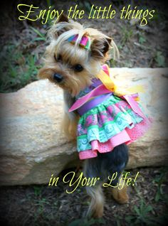 Looking for a list of great Yorkie quotes and sayings? Check out this collection of Yorkie inspired quotes and sayings with images. Lab Puppies, Cute Puppies, Cute Dogs, Poodle Puppies, Yorkies, Yorshire Terrier, Top Dog Breeds, Yorkie Puppy, Teacup Yorkie