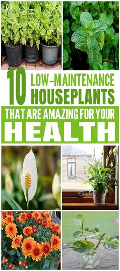 10 Low-Maintenance House Plants That Are Amazing For Your Health These house plants are just amazing for the health. Glad to have found these amazing houseplants with low-maintenance. Definitely pinning for later! Hydroponic Gardening, Hydroponics, Gardening Tips, Indoor Gardening, Indoor Plants Clean Air, Outdoor Plants, Outdoor Gardens, Outdoor Decor, Low Maintenance Landscaping