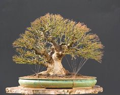 Acer burgerianum bonsai by WP, notice how neat & tidy his guy wiring is!!