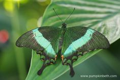 A magnificent Papilio palinurus, this butterfly has many common names, including the Emerald Swallowtail Butterfly, Green-banded Peacock Butterfly and the Emerald Peacock Butterfly. Pictured inside the Butterfly Dome, at the RHS Hampton Court Palace Flower Show 2016.