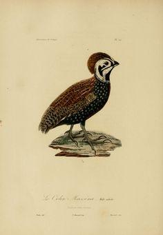 gravures couleur d'animaux - dessin de zoologie 0274 oiseau - colin massena - Gravures, illustrations, dessins, images