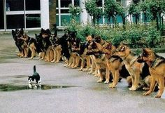 ( I love this photo Line up of Police dogs and a cat ) Some doggies do earn a living. Police dogs in particular. Most Police dogs are Germa. Funny Animal Pictures, Funny Animals, Cute Animals, Dog Pictures, Wild Animals, Funny Photos, Animal Pics, Funny Images, Hilarious Pictures
