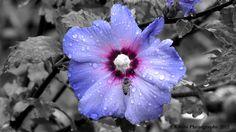 Purple Hibiscus after the rain. Purple Hibiscus, Missouri Botanical Garden, Third Eye Chakra, Shades Of Grey, All Pictures, Indigo, Hawaii, Rain, Bloom