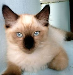 siamese kittens for sale in florida Cats & Kittens