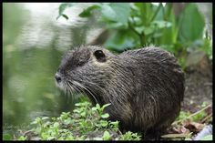 Nutria im Schlosspark Moers #nutria #myocastorcoypus Texas Animals, Red Eared Slider, Beavers, Otters, Pictures, Pet Pictures, Acrylic Painting Animals, Felting, Templates