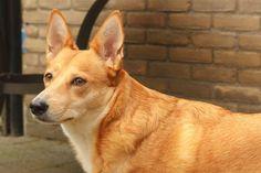FLORA een vrolijke lieve schat!       Zoekt een 4 Ever Home!             In opvang Nederland.  http://www.podencoworld.nl/adoptiehonden/honden/1-podencos/519-flora…