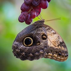 Yellow-edged Giant Owl  butterfly - @knofje22