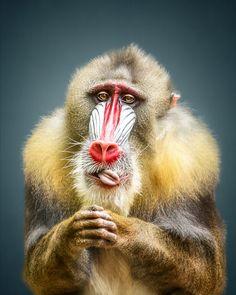 Animal Personality: Mandrill Abiola by Manuela Kulpa - Photo 240946759 / Primates, Mammals, Rare Animals, Animals And Pets, Strange Animals, Beautiful Creatures, Animals Beautiful, Dog Pictures, Animal Pictures