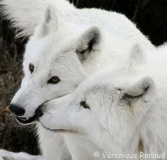 White Wolf : Stunning Photos Reveal The Incredible Beauty of White Wolves