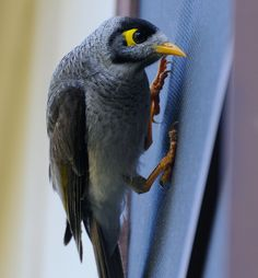 Noisy Miner by parrot photography (A very common Australian honeyeater who is not shy when it comes to peeping into houses.)