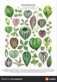 Peperomia Plant, Pothos Plant, House Plants Decor, Plant Decor, Paper Plants, Plant Projects, Inside Plants, Plant Identification, House Plant Care