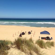 Tomorrow is going to be great beach [and camel riding] weather at 33 degrees.  If you want a ride book now to avoid disappointment! http://ift.tt/1owPosY  #lakesentrancecamelrides #camelride #whattodoinlakesentrance #visitvictoria #lakes #camels #lakesentrance #EasternBeach #CamelRides #lakesCamelRides by australiancamels http://ift.tt/1JtS0vo