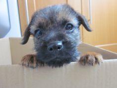 Border Terrier, Lulu 8 weeks old