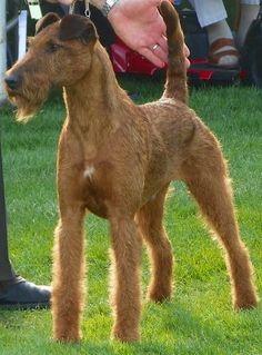 Glenstal Irish Terriers - best Irish Terriers ever!!!