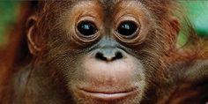 El plan para liquidar a los orangutanes