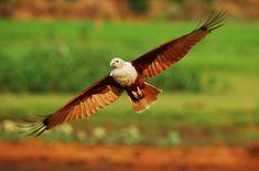 Red backed Sea Eagle